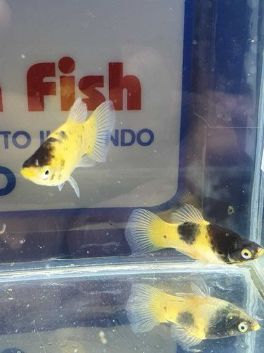 PLATY BUMBLE BEE NEW